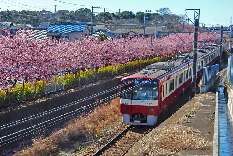 160221三浦海岸河津桜11