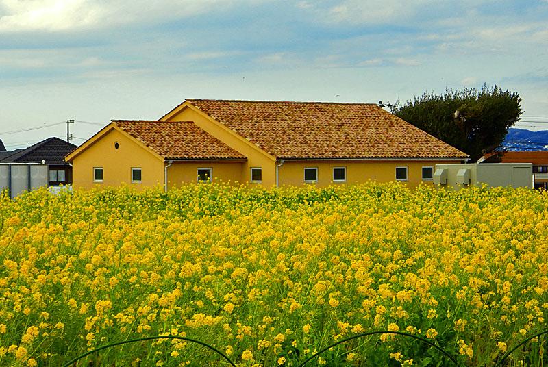 160221ソレイユの丘菜の花3