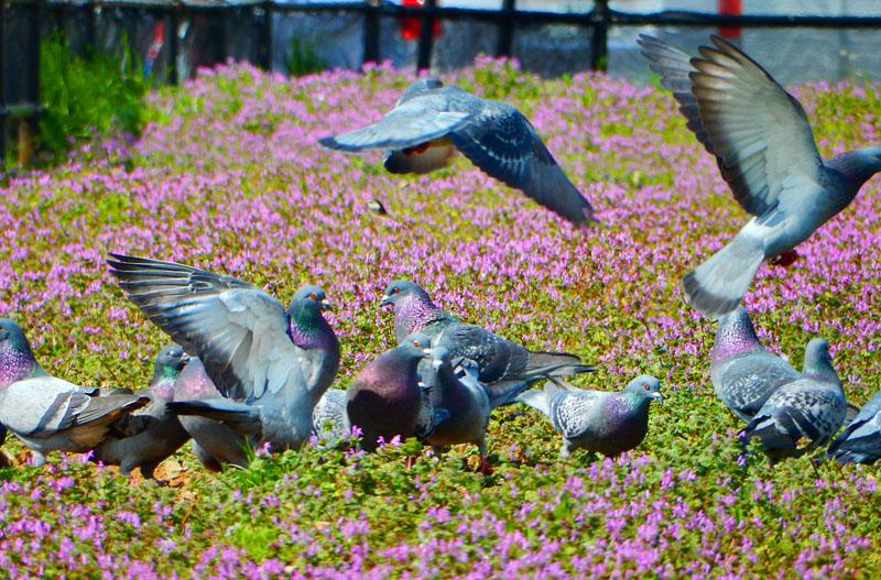 160326JR久里浜駅前花壇のホトケノザと鳩6
