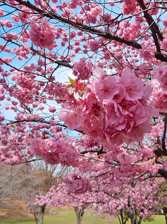 160329春の花たち1