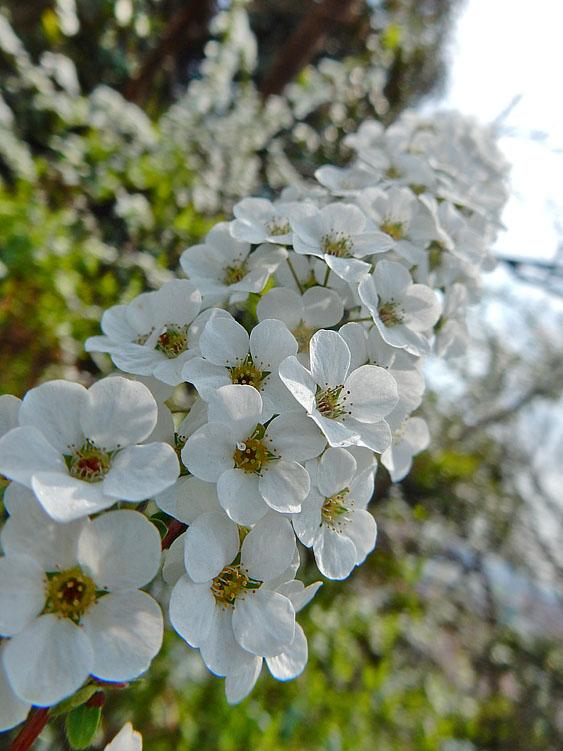 160329春の花たち6