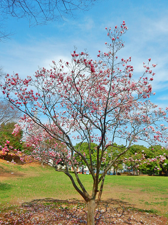 160329春の花たち8