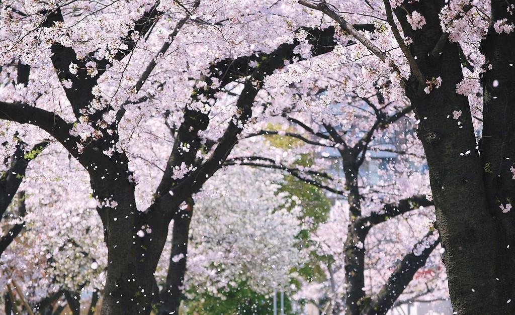 メルレの季節!拾い物のサクラ吹雪画像