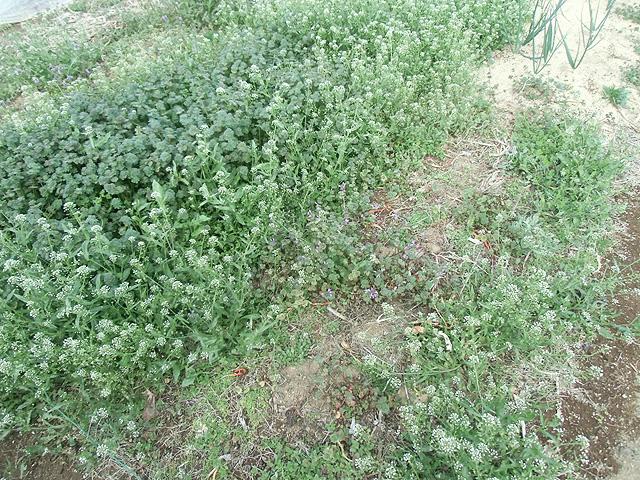 春の野原と化した畑