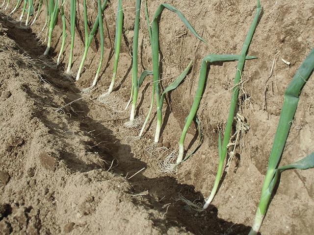 溝を掘って葱を並べる