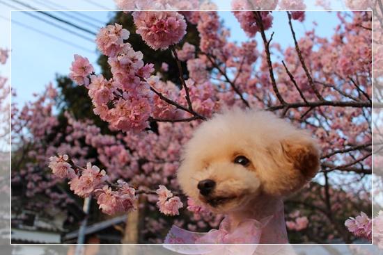 ひかると桜