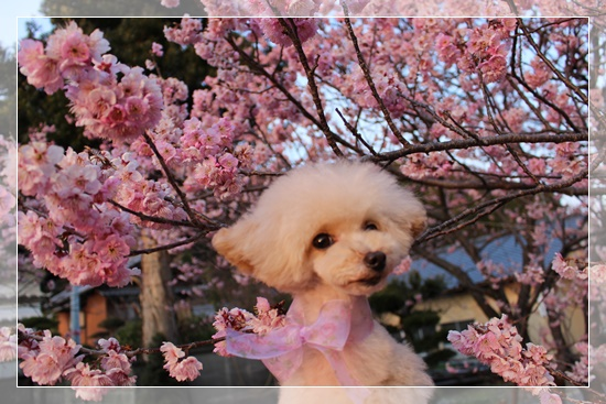 ひかるも桜色