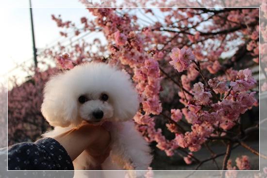 茉莉花と桜