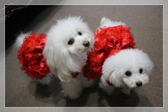 白プーには赤いドレスが良く似合う