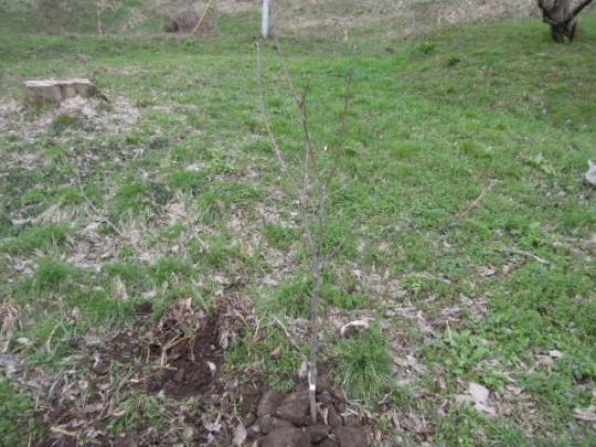 りんごの苗木 定植 H2803