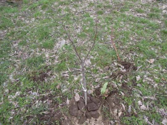 リンゴの苗木 定植 H2803