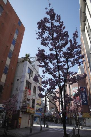 20160321nakasusakura.jpg