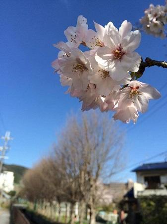 0401桜マルシェ