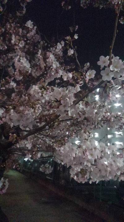 0401桜1