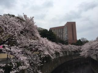 江戸川橋桜