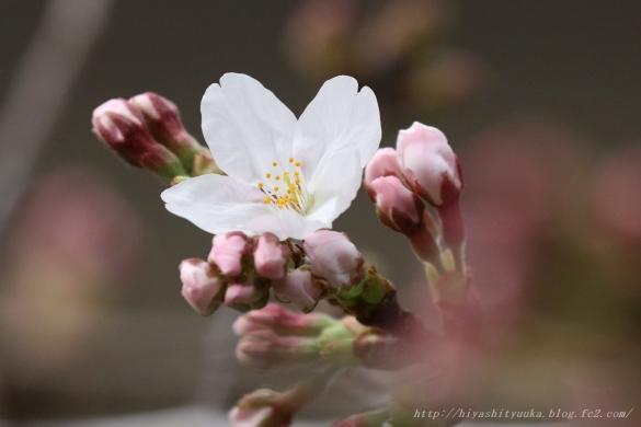 桜咲く2-SN