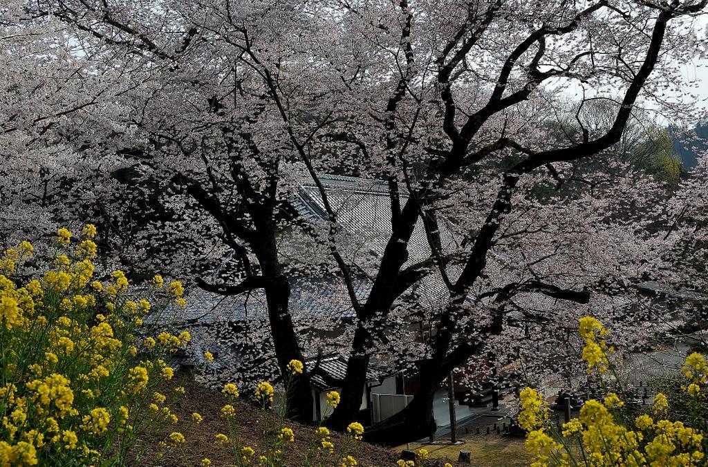 渡部神社の枝垂れ桜