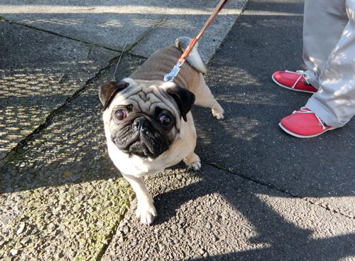 お散歩中に出会った、パグのじゅうたろうくん!
