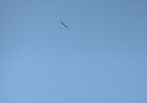 飛んでるトコ。 その3 コレが今日のベストショットだね。