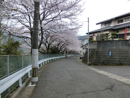 右を見ても、桜の道。