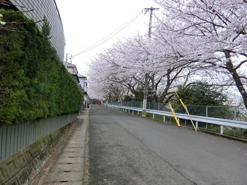 左をを見ても、桜の道!