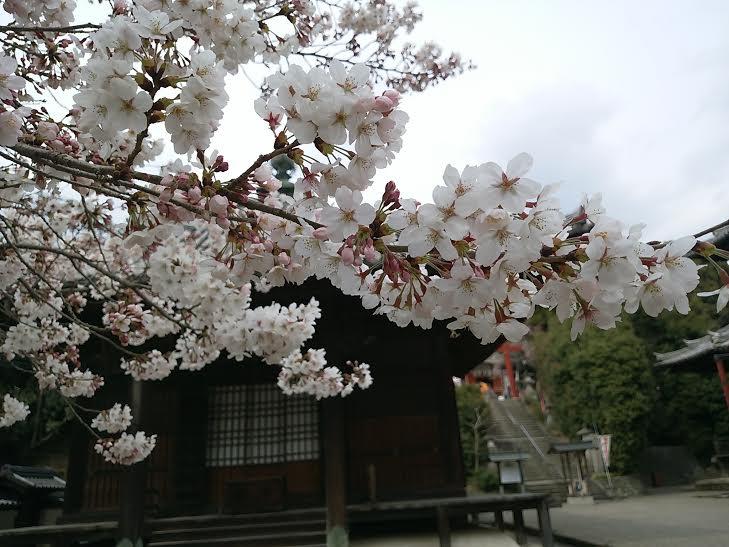 粉河寺・境内の桜