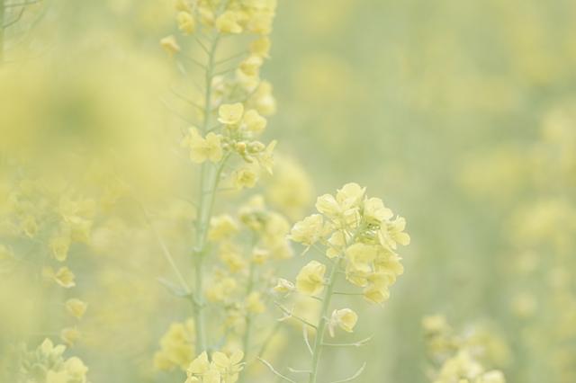 菜の花~♪