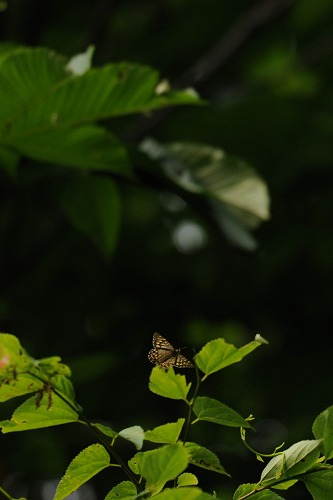 ヒメキマダラヒカゲ 2012.06.11 0745