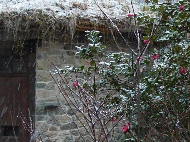 サザンカと雪