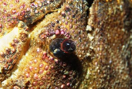 セミエビの目web