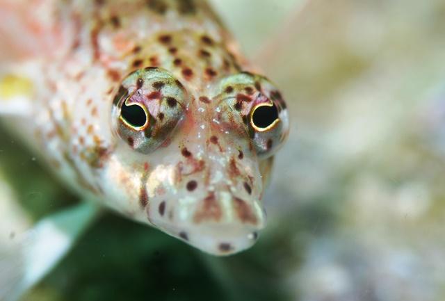 サンゴトラギス顔アップweb
