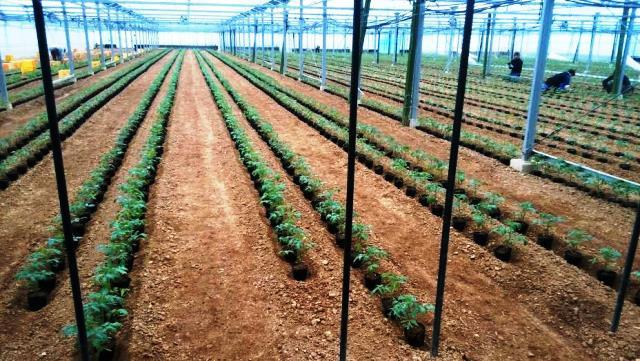トマト植え付け前2web