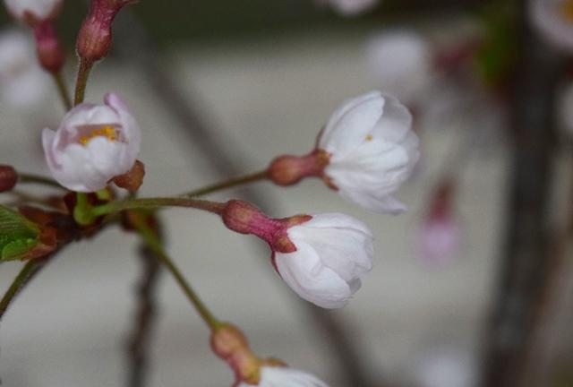 ひょうたん桜web