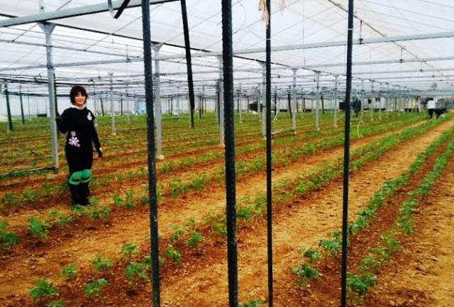 トマト植え付け後web