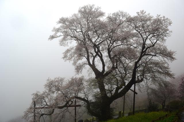 ひょうたん桜大木web