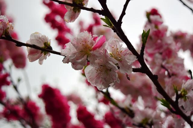 ハナモモ花アップweb
