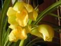 黄色い蘭の花