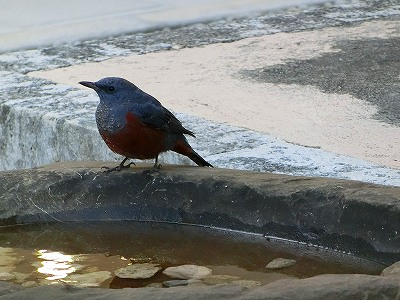 博物館にいた青い鳥イソヒヨドリ