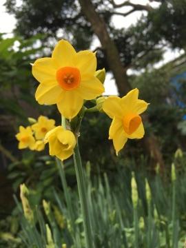 庭の水仙2