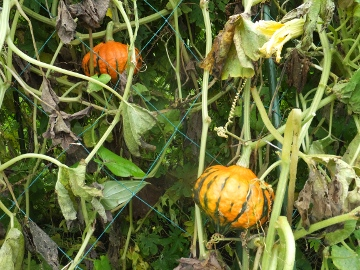 かぼちゃ何者?