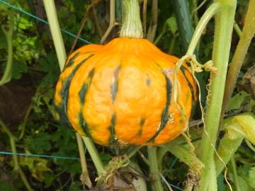かぼちゃ何者?2