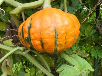 かぼちゃ何者?3