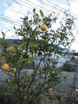 レモンが枯れそう!2