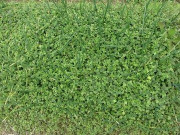 草の中の玉ねぎ