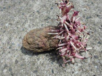 じゃが芋種芋の芽が伸び過ぎ4