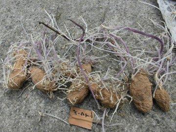 じゃが芋種芋の芽が伸び過ぎ9