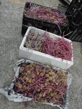 じゃが芋種芋の芽が伸び過ぎ11