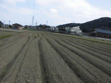 じゃが芋種の残り植え7