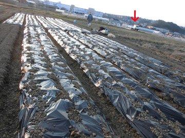 じゃが芋種の残り植え10