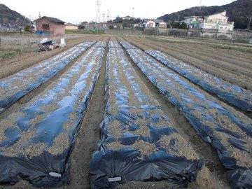 じゃが芋種の残り植え11